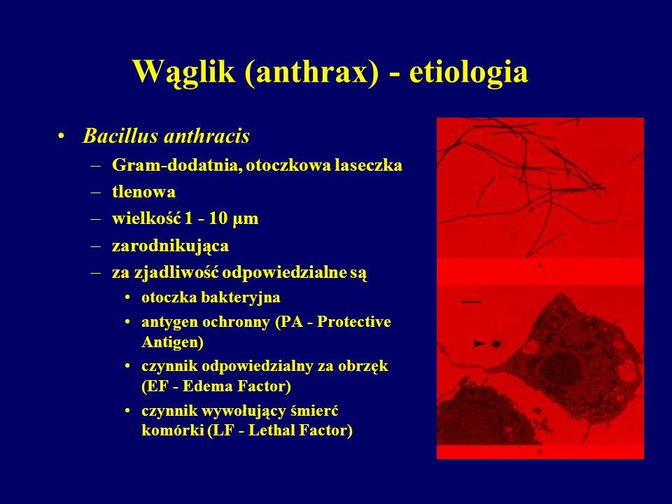 Wąglik (anthrax) - etiologia Bacillus anthracis –Gram-dodatnia, otoczkowa laseczka –tlenowa –wielkość 1 - 10 μm –zarodnikująca –za zjadliwość odpowied