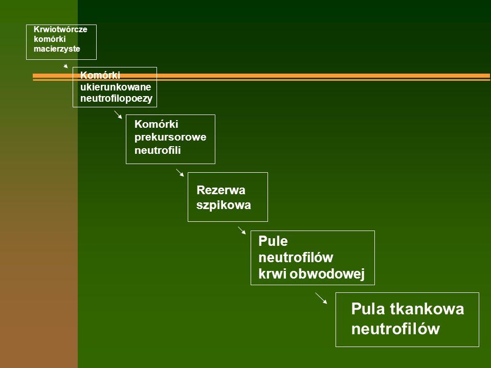 Krwiotwórcze komórki macierzyste Komórki ukierunkowane neutrofilopoezy Komórki prekursorowe neutrofili Rezerwa szpikowa Pule neutrofilów krwi obwodowej Pula tkankowa neutrofilów