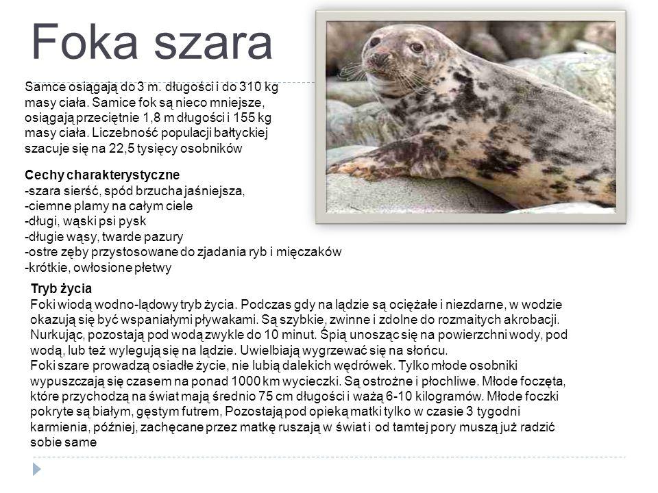 Foka szara Samce osiągają do 3 m. długości i do 310 kg masy ciała. Samice fok są nieco mniejsze, osiągają przeciętnie 1,8 m długości i 155 kg masy cia