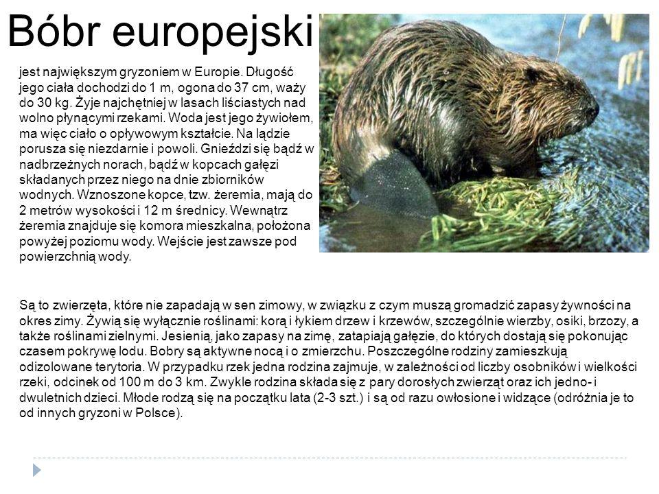 Bóbr europejski jest największym gryzoniem w Europie. Długość jego ciała dochodzi do 1 m, ogona do 37 cm, waży do 30 kg. Żyje najchętniej w lasach liś