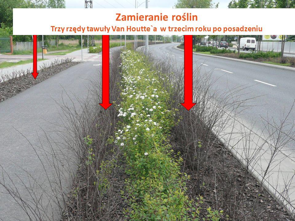 Zamieranie roślin Trzy rzędy tawuły Van Houtte`a w trzecim roku po posadzeniu