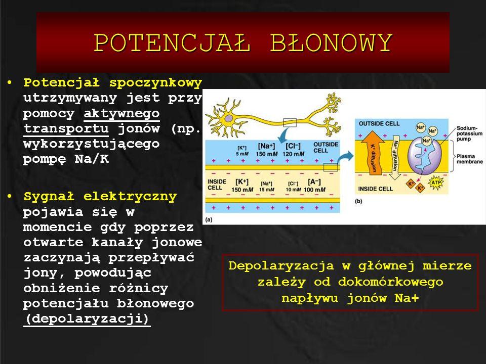 POTENCJAŁ BŁONOWY Potencjał spoczynkowy utrzymywany jest przy pomocy aktywnego transportu jonów (np. wykorzystującego pompę Na/K Sygnał elektryczny po