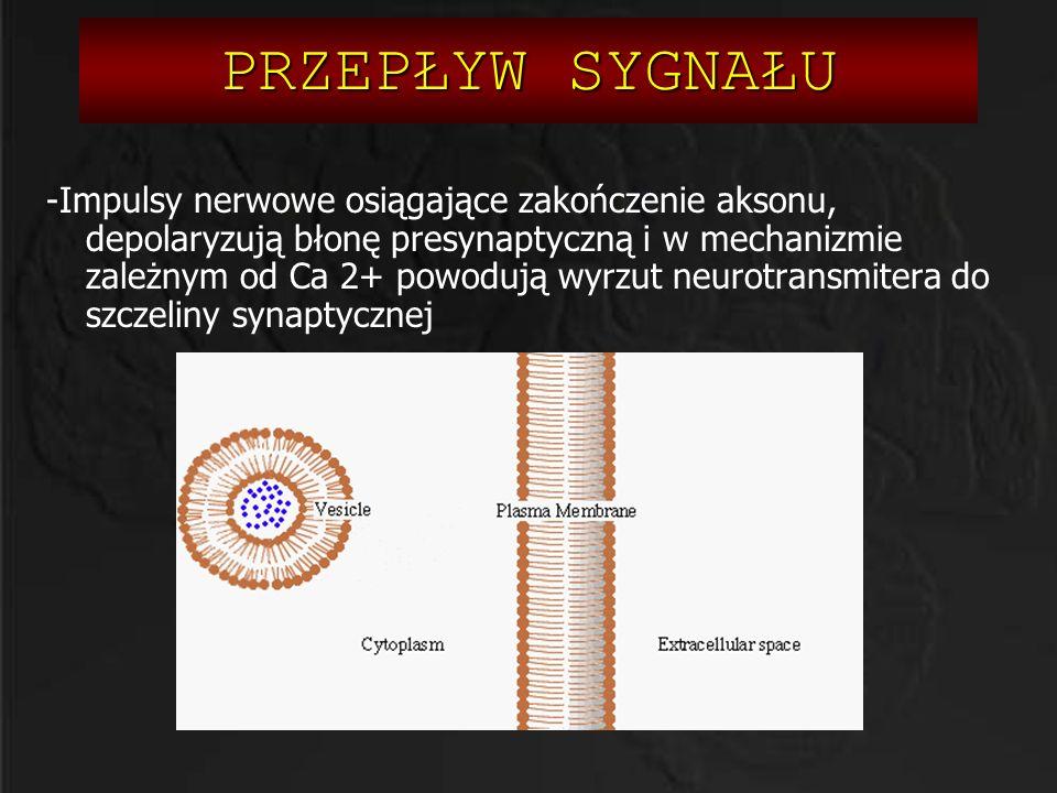 PRZEPŁYW SYGNAŁU -Impulsy nerwowe osiągające zakończenie aksonu, depolaryzują błonę presynaptyczną i w mechanizmie zależnym od Ca 2+ powodują wyrzut n
