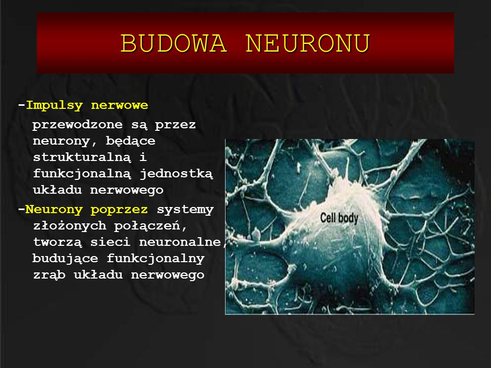 BUDOWA NEURONU W skład budowy neuronu wchodzą: KIERUNEK PRZEPŁYWU SYGNAŁU CIAŁO KOMÓRKOWE -Ciało komórkowe DENDRYTY - -Dendryty WZGÓREK AKSONU - Wzgórek aksonu AKSON JĄDRO -Akson OSŁONKA MIELINOWA SYNAPSY ROZGAŁĘZIENIA KOŃCOWE - Rozgałęzienia końcowe KIERUNEK PRZEPŁYWU SYGNAŁU