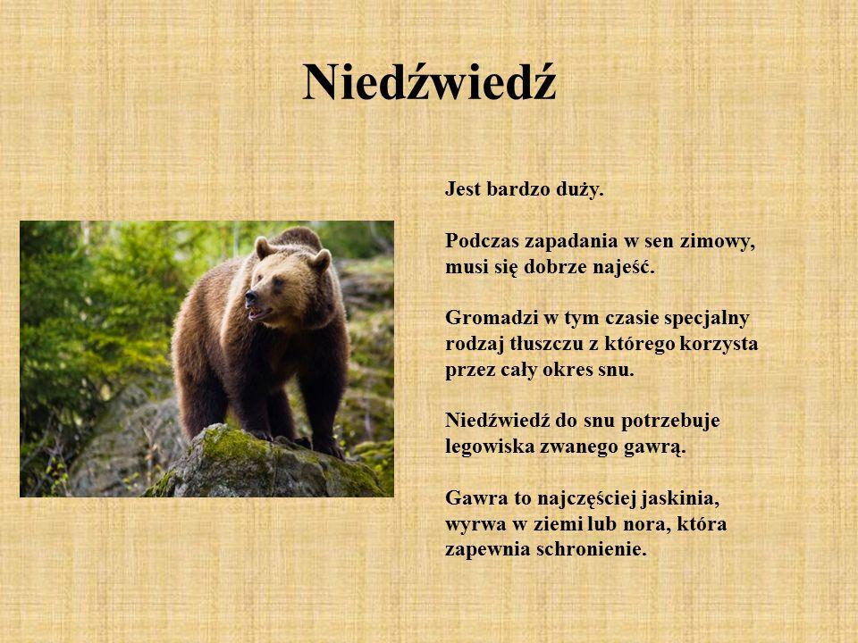 Niedźwiedź Jest bardzo duży. Podczas zapadania w sen zimowy, musi się dobrze najeść. Gromadzi w tym czasie specjalny rodzaj tłuszczu z którego korzyst