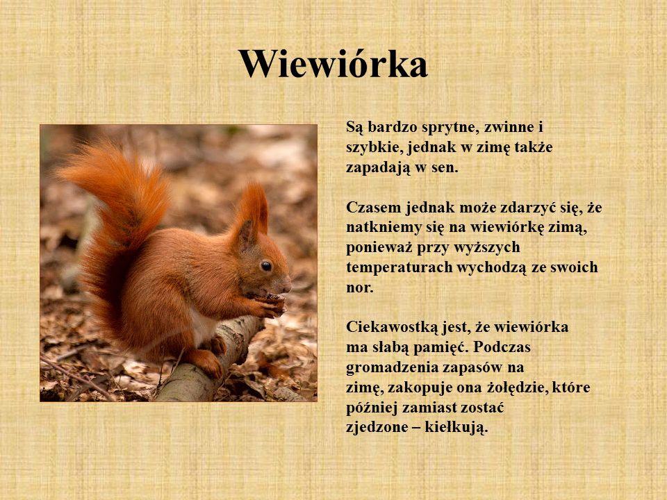 Wiewiórka Są bardzo sprytne, zwinne i szybkie, jednak w zimę także zapadają w sen.