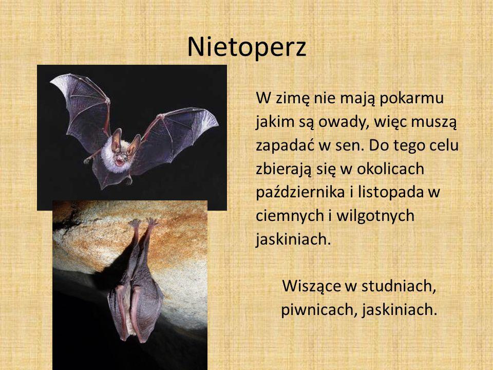 Nietoperz W zimę nie mają pokarmu jakim są owady, więc muszą zapadać w sen. Do tego celu zbierają się w okolicach października i listopada w ciemnych