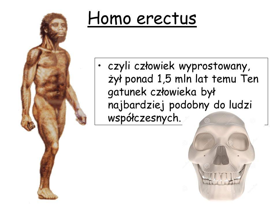 Homo erectus czyli człowiek wyprostowany, żył ponad 1,5 mln lat temu Ten gatunek człowieka był najbardziej podobny do ludzi współczesnych.