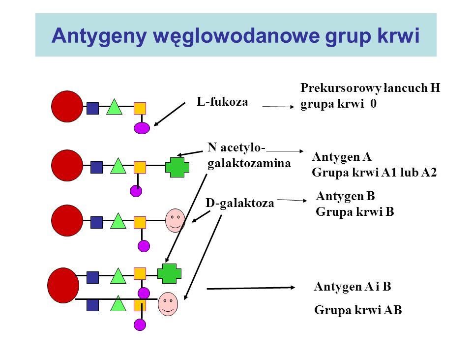 Antygeny węglowodanowe grup krwi L-fukoza Prekursorowy łancuch H grupa krwi 0 N acetylo- galaktozamina Antygen A Grupa krwi A1 lub A2 D-galaktoza Anty