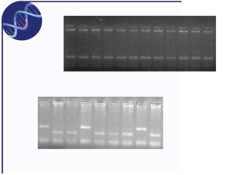 RFLP – restriction fragment length polimorphism Najwcześniejsza i główna metoda detekcji zmienności genetycznej na poziomie DNA Metoda ta oparta jest na enzymach restrykcyjnych izolowanych z różnorodnych gatunków bakterii Enzymy te rozpoznają specyficzną sekwencje, zwykle 4-6 par zasad i rozcinają symetrycznie obydwie nici DNA na zdefiniowane i powtarzalne fragmenty