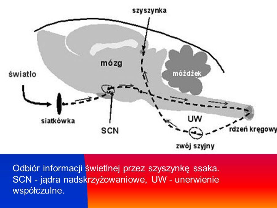 Odbiór informacji świetlnej przez szyszynkę ssaka. SCN - jądra nadskrzyżowaniowe, UW - unerwienie współczulne.