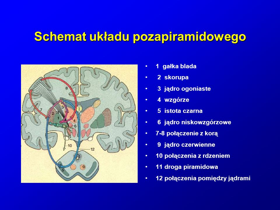 Rola układu pozapiramidowego regulacja napięcia mięśniowego i postawy ciała tworzenie automatyzmów ruchowych