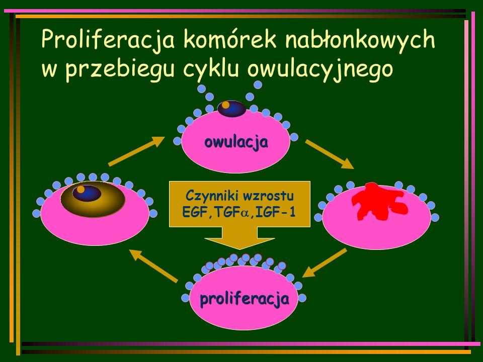 Proliferacja komórek nabłonkowych w przebiegu cyklu owulacyjnego owulacja proliferacja Czynniki wzrostu EGF,TGF ,IGF-1
