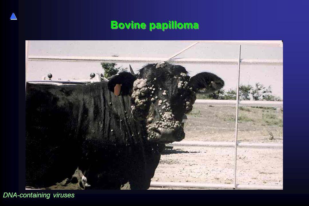 Bovine papilloma DNA-containing viruses