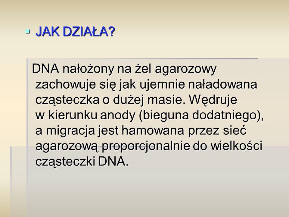  JAK DZIAŁA? DNA nałożony na żel agarozowy zachowuje się jak ujemnie naładowana cząsteczka o dużej masie. Wędruje w kierunku anody (bieguna dodatnieg