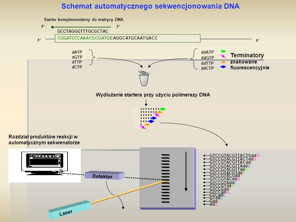 Starter komplementarny do matrycy DNA 3' 5' 3' GCCTAGGGTTTGCGCTAC Wydłużanie startera przy użyciu polimerazy DNA CGGATCCCAAACGCGATGCAGGCATGCAATGACC Sc