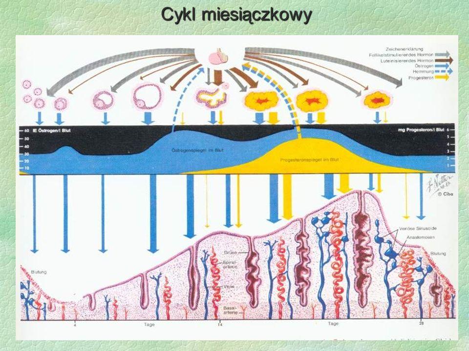 Cykljajnikowy