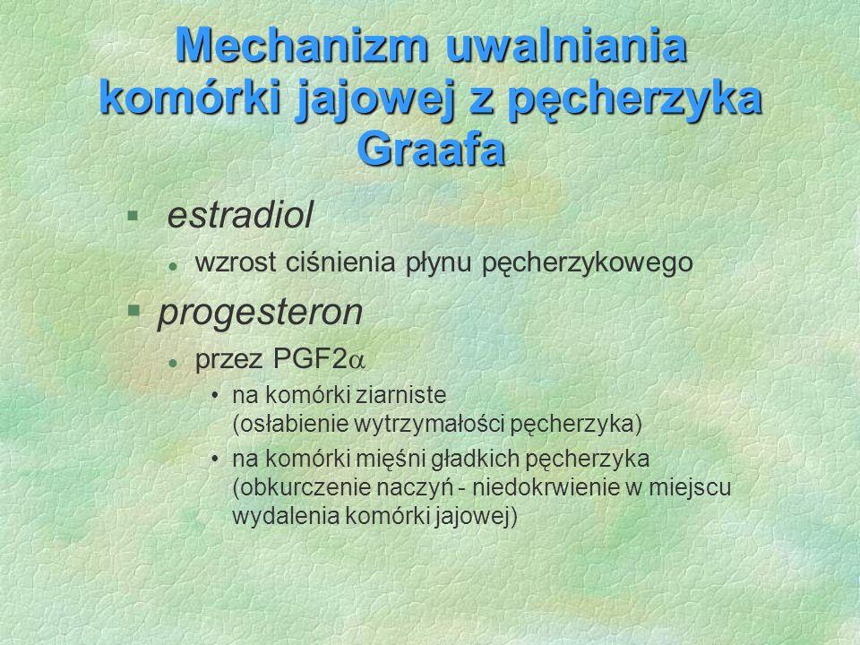 Mechanizm uwalniania komórki jajowej z pęcherzyka Graafa § estradiol l wzrost ciśnienia płynu pęcherzykowego §progesteron l przez PGF2  na komórki zi