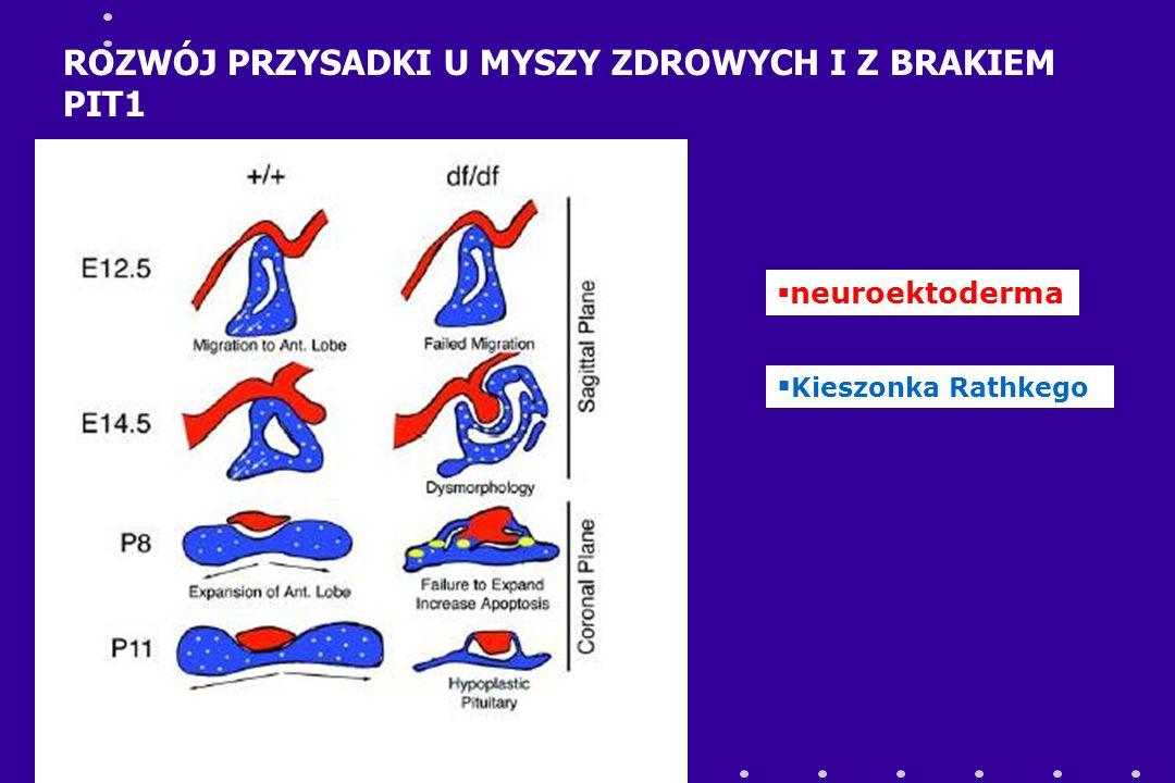  neuroektoderma  Kieszonka Rathkego ROZWÓJ PRZYSADKI U MYSZY ZDROWYCH I Z BRAKIEM PIT1