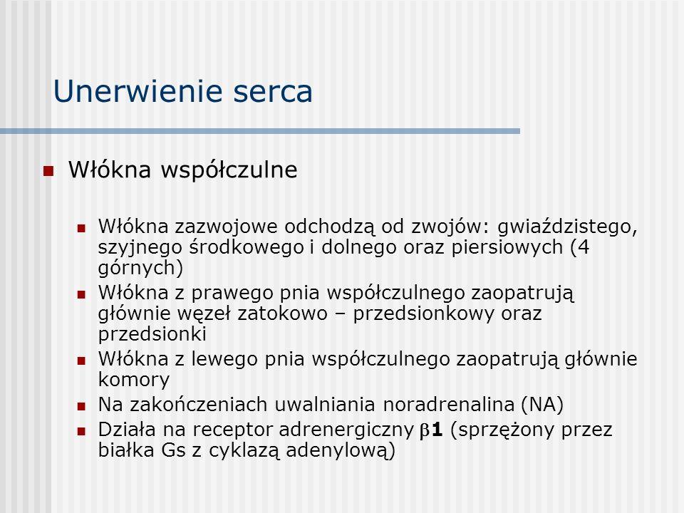 Unerwienie serca Włókna współczulne Włókna zazwojowe odchodzą od zwojów: gwiaździstego, szyjnego środkowego i dolnego oraz piersiowych (4 górnych) Włókna z prawego pnia współczulnego zaopatrują głównie węzeł zatokowo – przedsionkowy oraz przedsionki Włókna z lewego pnia współczulnego zaopatrują głównie komory Na zakończeniach uwalniania noradrenalina (NA) Działa na receptor adrenergiczny 1 (sprzężony przez białka Gs z cyklazą adenylową)