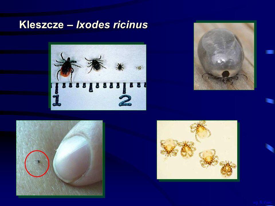 Kleszcze – Ixodes ricinus wg. R.Welc