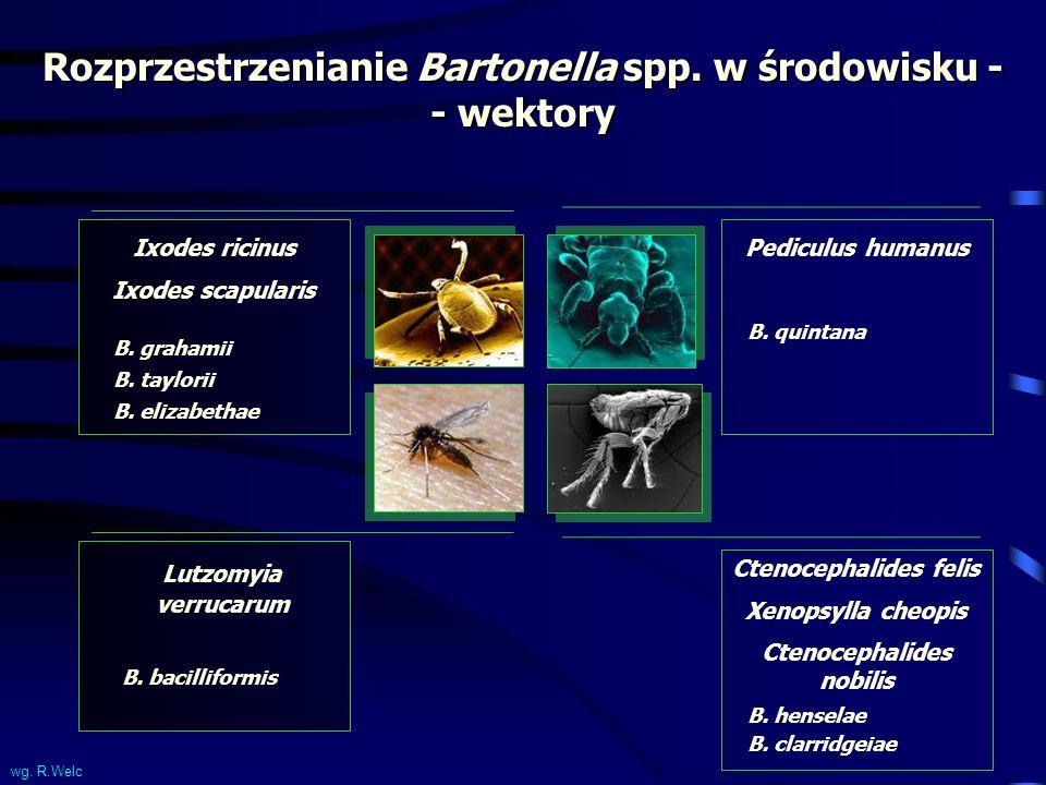 Rozprzestrzenianie Bartonella spp. w środowisku - - wektory Ixodes ricinus Ixodes scapularis B. grahamii B. taylorii B. elizabethae Pediculus humanus
