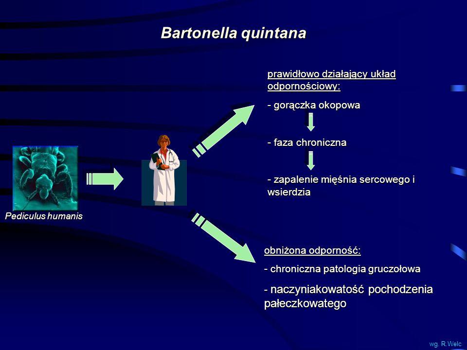 Bartonella quintana prawidłowo działający układ odpornościowy: - gorączka okopowa - faza chroniczna - zapalenie mięśnia sercowego i wsierdzia obniżona