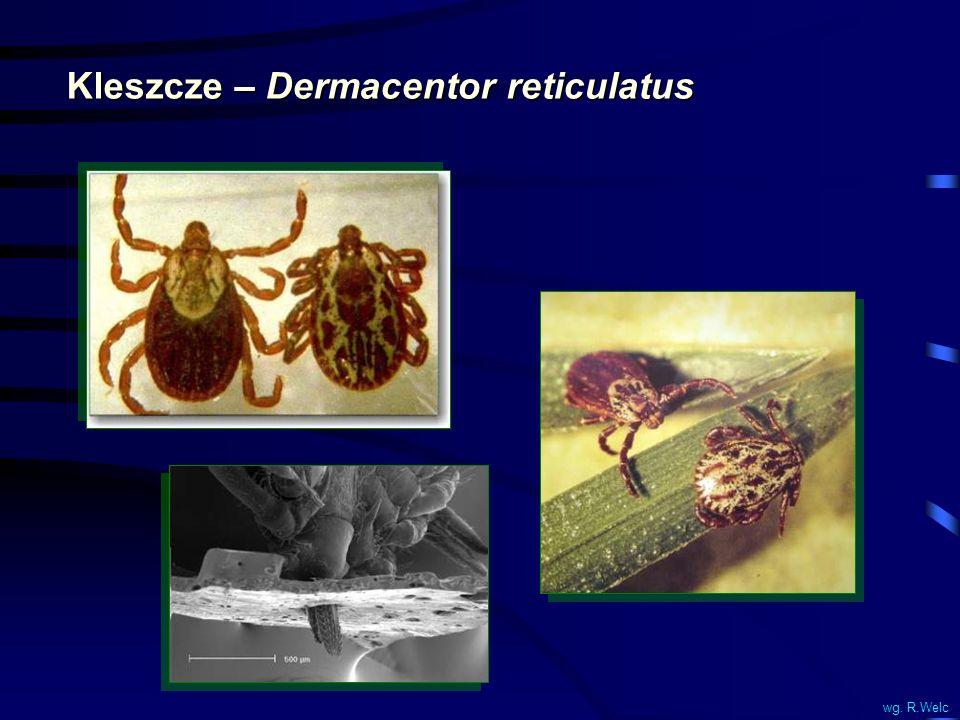 Kleszcze – Dermacentor reticulatus wg. R.Welc