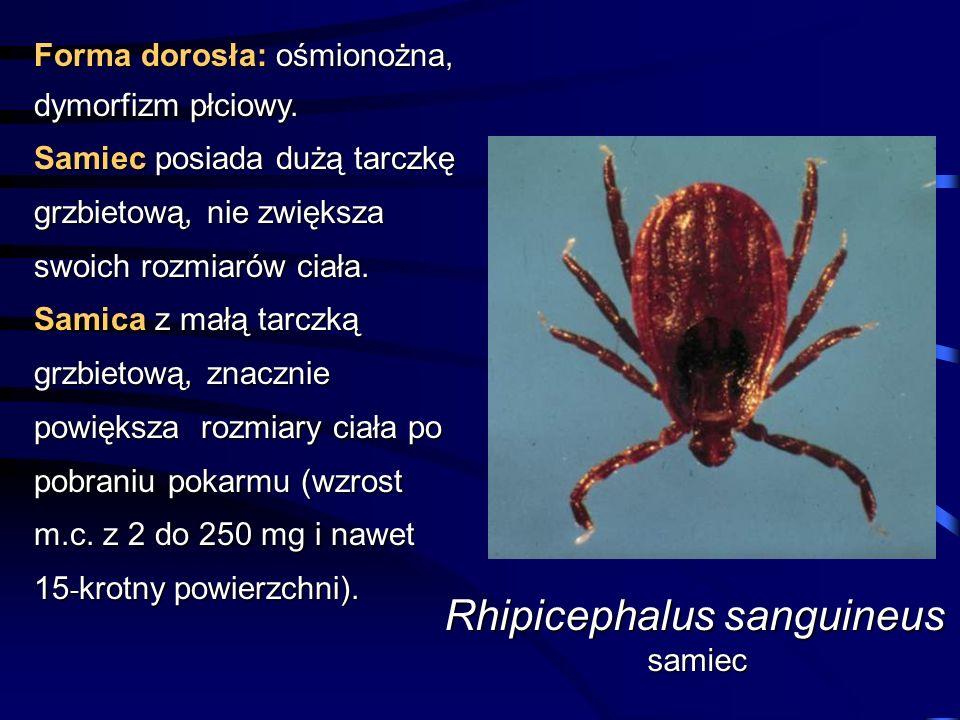 Forma dorosła: ośmionożna, dymorfizm płciowy. Samiec posiada dużą tarczkę grzbietową, nie zwiększa swoich rozmiarów ciała. Samica z małą tarczką grzbi