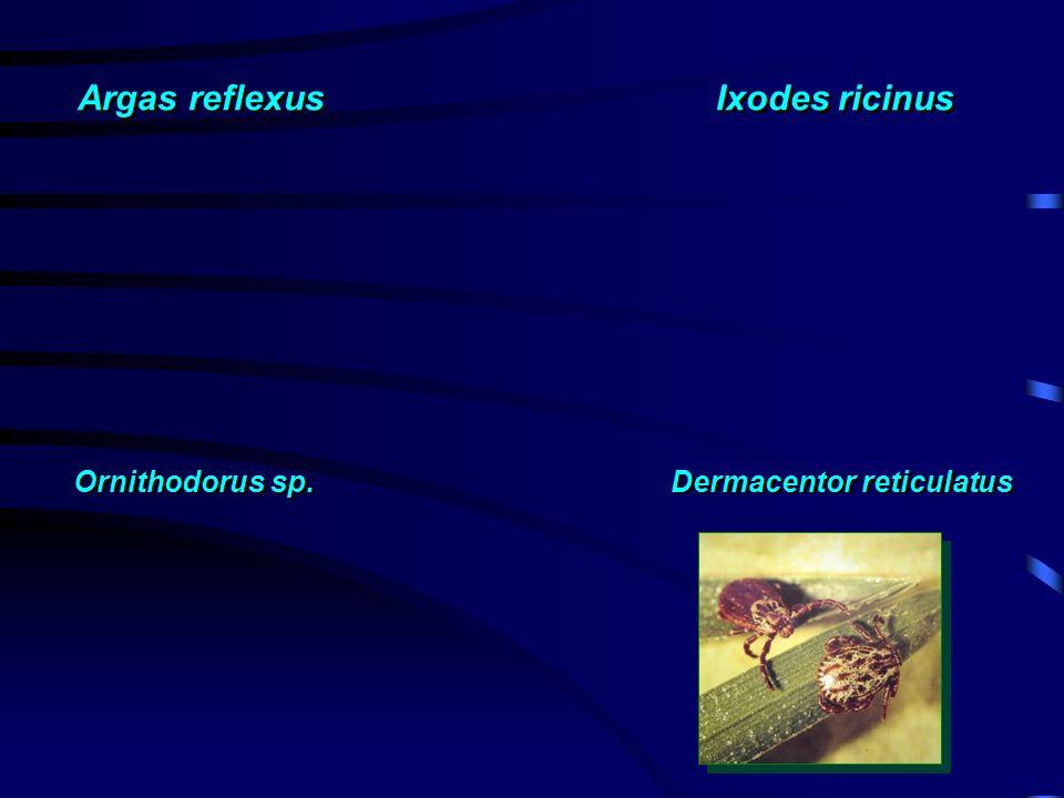 Argas reflexus Ixodes ricinus Ornithodorus sp. Dermacentor reticulatus
