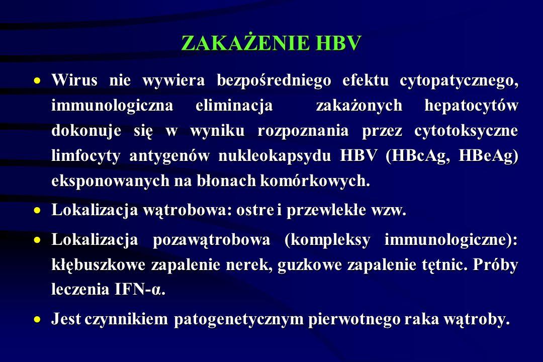 ZAKAŻENIE HBV  Wirus nie wywiera bezpośredniego efektu cytopatycznego, immunologiczna eliminacja zakażonych hepatocytów dokonuje się w wyniku rozpoznania przez cytotoksyczne limfocyty antygenów nukleokapsydu HBV (HBcAg, HBeAg) eksponowanych na błonach komórkowych.