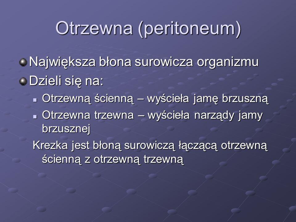 Otrzewna (peritoneum) Największa błona surowicza organizmu Dzieli się na: Otrzewną ścienną – wyścieła jamę brzuszną Otrzewną ścienną – wyścieła jamę b