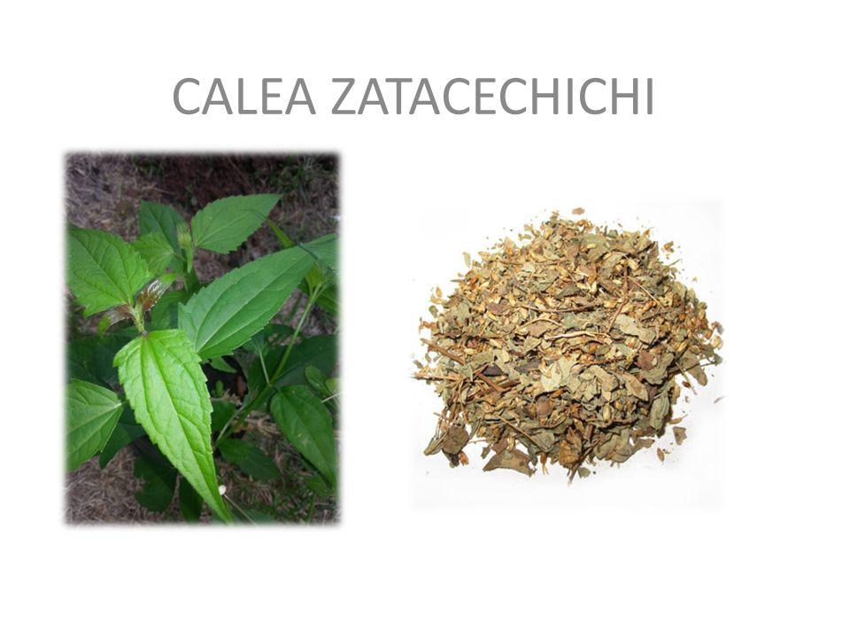 CALEA ZATACECHICHI – roślina występująca w Meksyku i Ameryce Środkowej.
