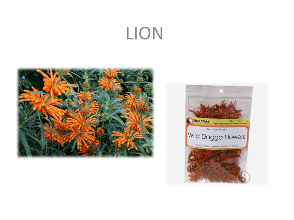LION (lwi ogon, lwie ucho, Wild Dagga, Leonotis Leonurus) – roślina występująca w Południowej i Wschodniej Afryce.
