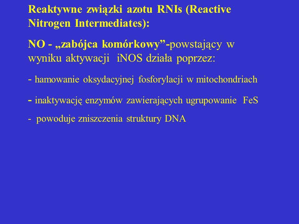 """Reaktywne związki azotu RNIs (Reactive Nitrogen Intermediates): NO - """"zabójca komórkowy""""-powstający w wyniku aktywacji iNOS działa poprzez: - hamowani"""