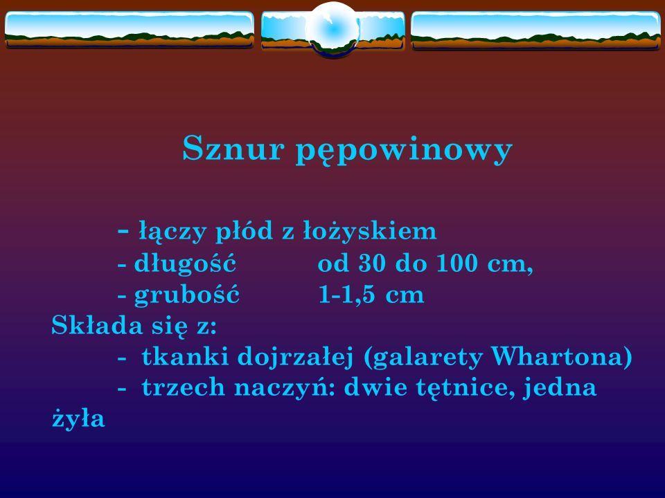 Sznur pępowinowy - łączy płód z łożyskiem - długość od 30 do 100 cm, - grubość1-1,5 cm Składa się z: - tkanki dojrzałej (galarety Whartona) - trzech n