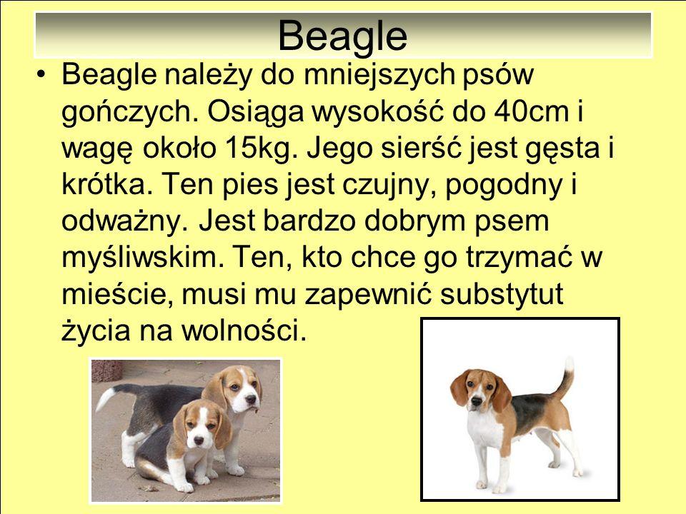 Appenzeller Appenzeller osiąga wzrost od 50 do 56cm i wagę około 20kg. Sierść psa nie wymaga skomplikowanej pielęgnacji. Ten pies ma 5 pozytywnych cec