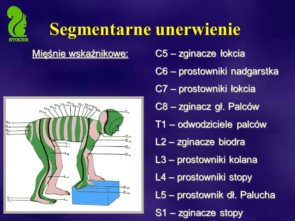 Segmentarne unerwienie C5 – zginacze łokcia C6 – prostowniki nadgarstka C7 – prostowniki łokcia C8 – zginacz gł.