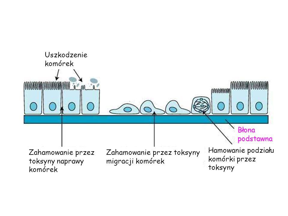 Błona podstawna Hamowanie podziału komórki przez toksyny Zahamowanie przez toksyny migracji komórek Zahamowanie przez toksyny naprawy komórek Uszkodze