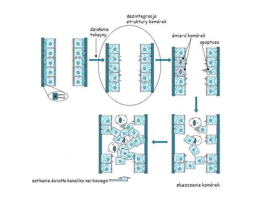działanie toksyny śmierć komórek apoptoza dezintegracja struktury komórek złuszczenie komórek zatkanie światła kanalika nerkowego