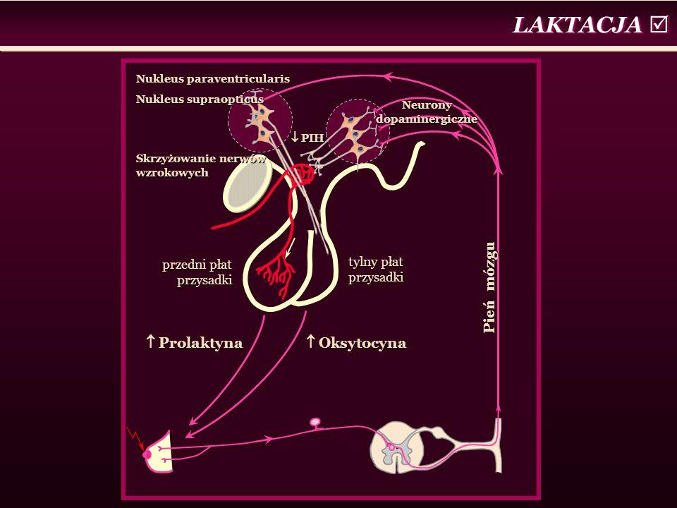 LAKTACJA   Prolaktyna  Oksytocyna  PIH tylny płat przysadki przedni płat przysadki Neurony dopaminergiczne Nukleus paraventricularis Nukleus supraopticus Skrzyżowanie nerwów wzrokowych Pień mózgu
