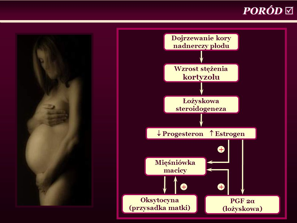 PORÓD  Dojrzewanie kory nadnerczy płodu Wzrost stężenia kortyzolu Łożyskowa steroidogeneza Mięśniówka macicy Oksytocyna (przysadka matki) PGF 2α (łoż
