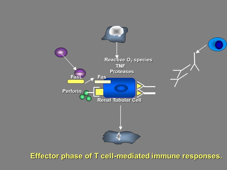Mechanizmy tworzenia z łog ó w w kłębuszkach  Kr ążący w surowicy wolny antygen (wirusowy, pokarmowy) gromadzi się w błonie podstawnej, a następnie wytworzone z op ó źnieniem przeciwciała docierają do niego I powstają kompleksy in situ, lub antygenem jest składnik strukturalny kłębuszka  Kr ążący w surowicy antygen związany z przeciwciałami z wytworzeniem kompleks ó w immunologicznych, kt ó re nie zostają połączone z receptorem C3b-R na erytrocytach, a następnie sfagocytowane w układzie siateczkowo-śr ó dbłonkowo, lecz gromadzą się w kłębuszkach poprze wiązanie z Fc-R na kom ó rkach mezangium, gdzie indukują zmiany zapalne (przewlekłe choroby wątroby, zaburzone wiązanie z C3b-R)  Kr ążący w surowicy wolny antygen (wirusowy, pokarmowy) gromadzi się w błonie podstawnej, a następnie wytworzone z op ó źnieniem przeciwciała docierają do niego I powstają kompleksy in situ, lub antygenem jest składnik strukturalny kłębuszka  Kr ążący w surowicy antygen związany z przeciwciałami z wytworzeniem kompleks ó w immunologicznych, kt ó re nie zostają połączone z receptorem C3b-R na erytrocytach, a następnie sfagocytowane w układzie siateczkowo-śr ó dbłonkowo, lecz gromadzą się w kłębuszkach poprze wiązanie z Fc-R na kom ó rkach mezangium, gdzie indukują zmiany zapalne (przewlekłe choroby wątroby, zaburzone wiązanie z C3b-R)