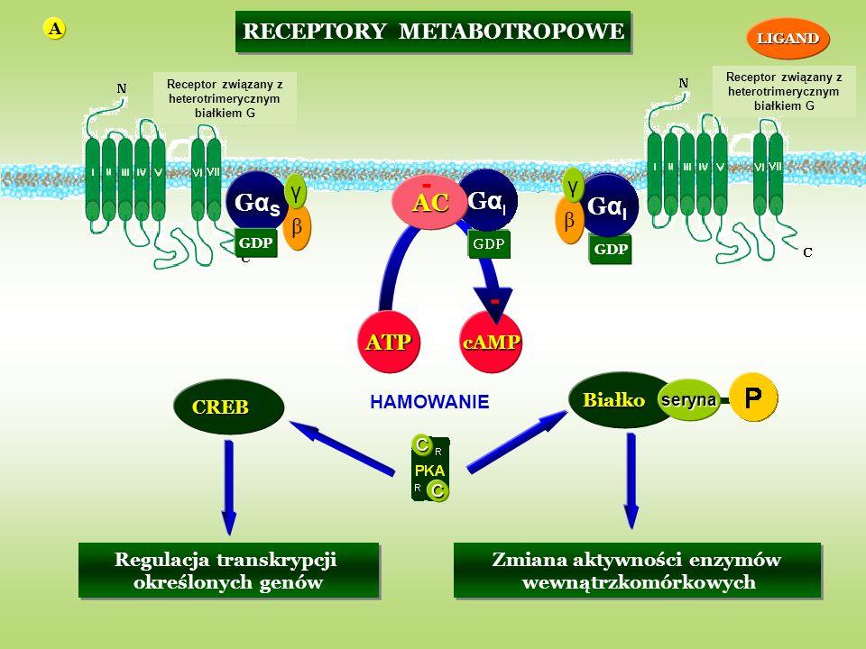 cAMP GDP GαIGαI RECEPTORY METABOTROPOWE β GαSGαS γAC β γ - GDP ATP - C CBiałkoseryna Zmiana aktywności enzymów wewnątrzkomórkowych Zmiana aktywności enzymów wewnątrzkomórkowych CREB Regulacja transkrypcji określonych genów Regulacja transkrypcji określonych genów Receptor związany z heterotrimerycznym białkiem G LIGAND HAMOWANIE A