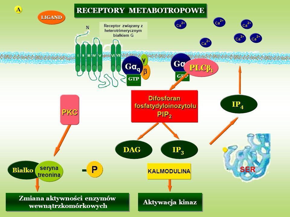 PKC Ca 2+ KALMODULINA GDP LIGAND GαqGαq GαqGαq GTP GαqGαq GDP PLC β 1 Ca 2+ Difosforan fosfatydyloinozytolu fosfatydyloinozytolu PIP 2 IP 3 Aktywacja kinaz IP 4 SER Ca 2+ Białko seryna treonina Zmiana aktywności enzymów wewnątrzkomórkowych Zmiana aktywności enzymów wewnątrzkomórkowych DAG RECEPTORY METABOTROPOWE Receptor związany z heterotrimerycznym białkiem G A