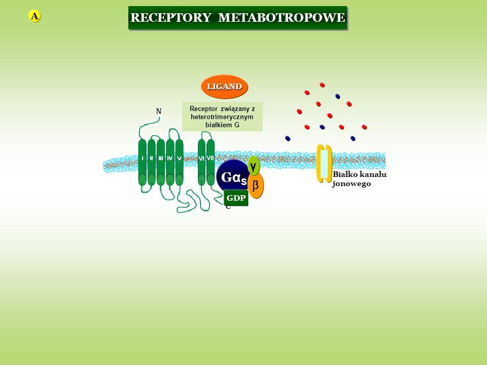 GαSGαS GDP Białko kanału jonowego RECEPTORY METABOTROPOWE Receptor związany z heterotrimerycznym białkiem G LIGAND A
