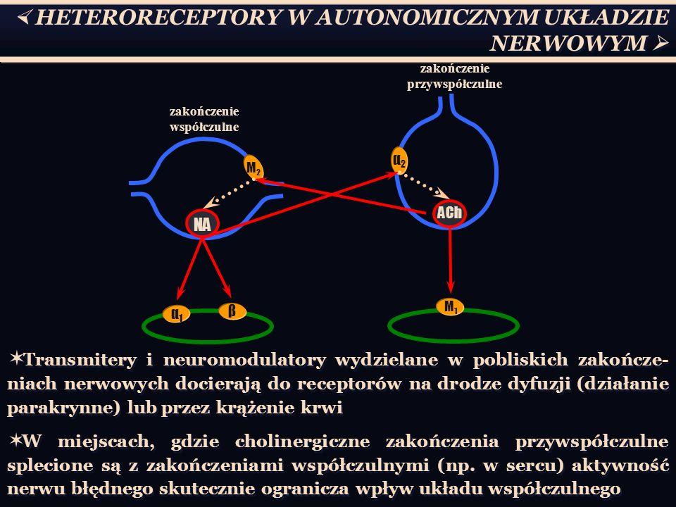  HETERORECEPTORY W AUTONOMICZNYM UKŁADZIE NERWOWYM  NA zakończenie współczulne M2M2 α1α1 β ACh α2α2 M1M1 zakończenie przywspółczulne  Transmitery i neuromodulatory wydzielane w pobliskich zakończe- niach nerwowych docierają do receptorów na drodze dyfuzji (działanie parakrynne) lub przez krążenie krwi  W miejscach, gdzie cholinergiczne zakończenia przywspółczulne splecione są z zakończeniami współczulnymi (np.