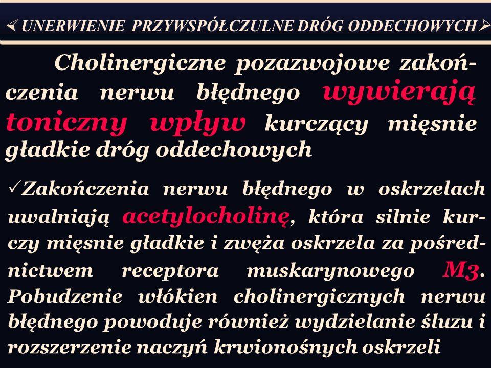 Cholinergiczne pozazwojowe zakoń- czenia nerwu błędnego wywierają toniczny wpływ kurczący mięsnie gładkie dróg oddechowych  UNERWIENIE PRZYWSPÓŁCZULNE DRÓG ODDECHOWYCH   Zakończenia nerwu błędnego w oskrzelach uwalniają acetylocholinę, która silnie kur- czy mięsnie gładkie i zwęża oskrzela za pośred- nictwem receptora muskarynowego M3.