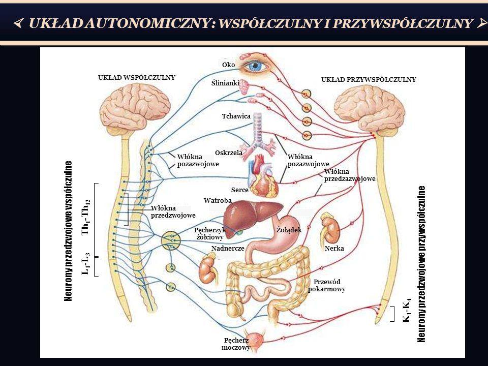  UKŁAD AUTONOMICZNY: WSPÓŁCZULNY I PRZYWSPÓŁCZULNY  Pęcherz moczowy Przewód pokarmowy Nerka Żołądek Włókna pozazwojowe Włókna przedzazwojowe UKŁAD PRZYWSPÓŁCZULNY UKŁAD WSPÓŁCZULNY Oko Wątroba Serce Nadnercze Oskrzela Tchawica Ślinianki Włókna pozazwojowe Włókna przedzwojowe Pęcherzyk żółciowy Th 1 -Th 12 L 1 -L 3 Neurony przedzwojowe współczulne K 1 -K 4 Neurony przedzwojowe przywspółczulne