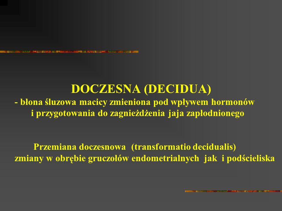 DOCZESNA (DECIDUA) - błona śluzowa macicy zmieniona pod wpływem hormonów i przygotowania do zagnieżdżenia jaja zapłodnionego Przemiana doczesnowa (tra